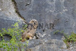 Uhu, Bubo bubo, European eagle owl