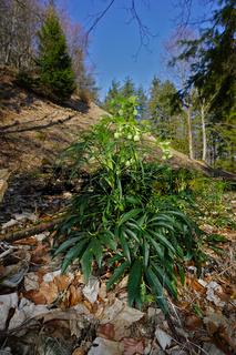 Stinkende Nieswurz, Helleborus foetidus, setterwort,