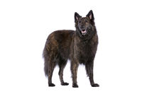 Long-haired Dutch Shepherd sog