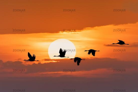 flying flock Common Crane, Hortobagy Hungary