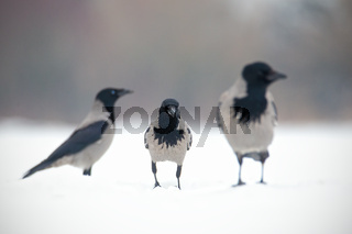 Three hooded crows, corvus cornix, sitting on a snow.