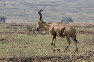 Lelwel Hartebeest walking on the scorched savanna during the dry season