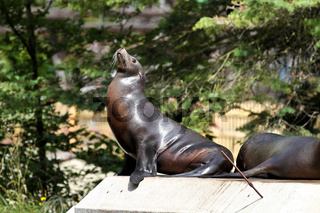 The South American sea lion, Otaria flavescens in the zoo