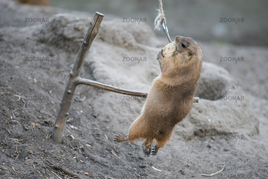 Prairie dog clinging to its food