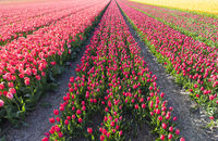 Tulip blooming season in the Netherlands, Europe