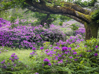 Rhododendron am Killarney National Park in Ireland