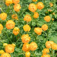 Flowers Trollius altaicus in nature