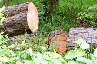 clean trunk of sawn pine, sawn tree in the forest