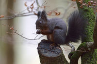 Red Squirrel * Sciurus vulgaris *, dark morph, sitting in a tree, feeding on seeds