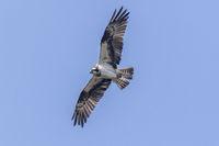 An osprey in flight
