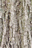 grooved bark on old trunk of poplar tree close up