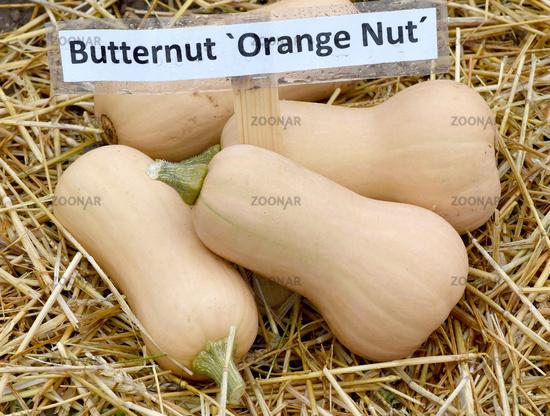 Butternut; Orange Nut; Kuerbis; Speisekuerbis