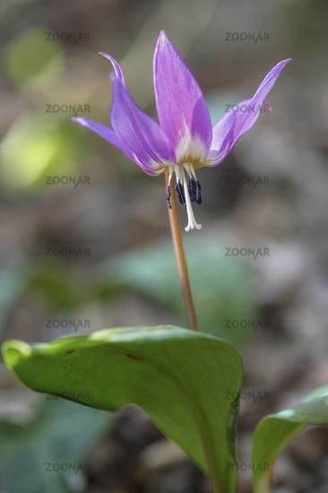 Dogtooth violet (Erythronium dens-canis)