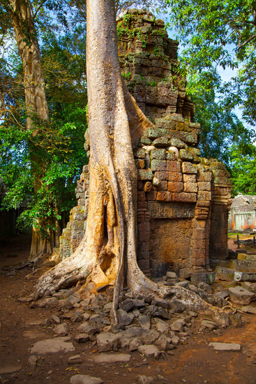Gaint tree in The Angkor Wat