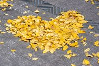 Heart shape made of yellow gingko leaves in the street in autumn