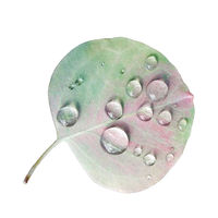 Eucalyptus Leaf with Rain Droplets