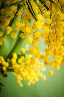 Mimosa flowers, close-up