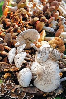 Several different wild mushrooms arranged edible mushrooms