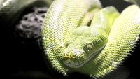 Head of a green python  (Morelia viridis)
