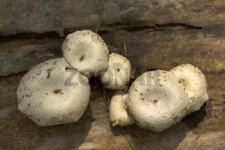 Mushroom, Gurjee, Tripura , India