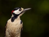 femal great spotted woodpecker in the garden