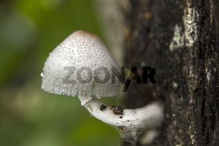 Weisser Hutpilz wächst auf Baumrinde, Andasibe Nationalpark, Madagaskar