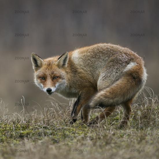 Red Fox * Vulpes vulpes *, sly animal