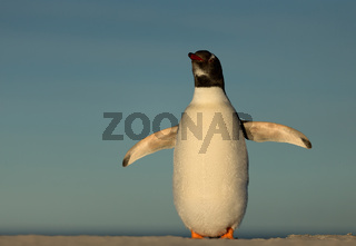 Gentoo penguin standing on a sandy coast