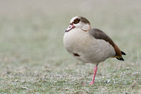 Egyptian Goose * Alopochen aegyptiacus * resting on frost covered farmland, standing on one leg
