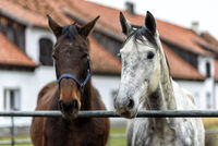 horses on a paddock