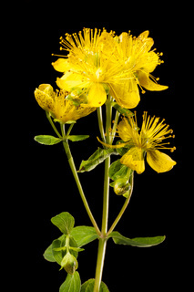 Hypericum perforatum Johannis herbs on black