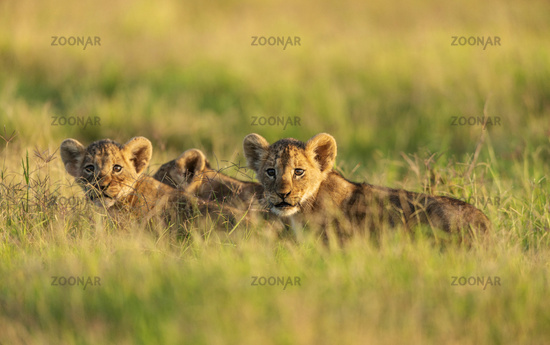 Lion cubs in a morning light, Amboseli, Kenya