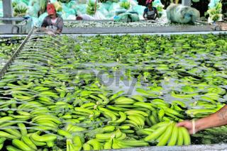 Waschstrasse der Bananen