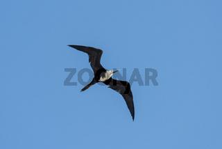 Fregattvogel, Fregatidae, Fregata, Frigate Bird