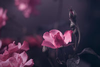 pink pastel roses with bud on dark background