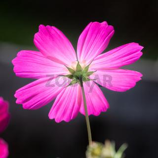 beautiful pink Cosmos bipinnatus flower
