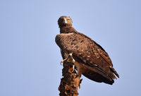 Martial Eagle in Kenya