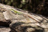 Thyrrhenian wall lizard