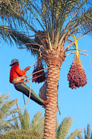 Men are harvesting dates on palm trees. Men cut clusters of dates hanging on date palms. Man harvest