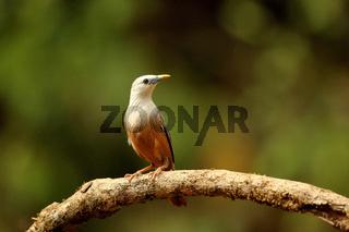 Blyth's Starling, Sturnia malabarica, Ganeshgudi, Karnataka, India
