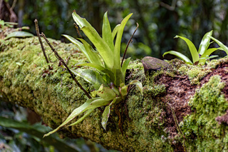 Bromeliad at tree trunk from Brazilian rainforest