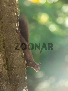 A squirrel hangs on the tree