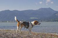 Beagle am Tegernsee