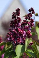 Blooming Lilac (Syringa)