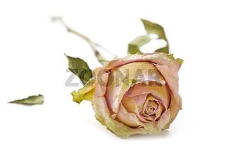 Eine vertrocknete Rose auf weißem Hintergrund