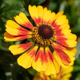 Helens Flower, Helenium