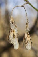 Maple tree seed
