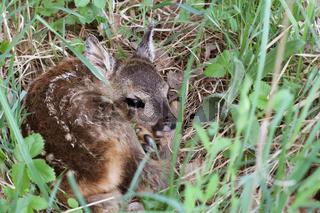 Little deer in the grass. Capreolus capreolus. .Wildlife scene from nature