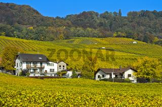 Weinberge in Herbstfärbung im Weinbaugebiet La Côte,Mont-sur-Rolle, Waadt, Schweiz