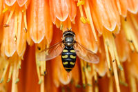 A Bee is Seen Gathering Nectar in Orange Flower